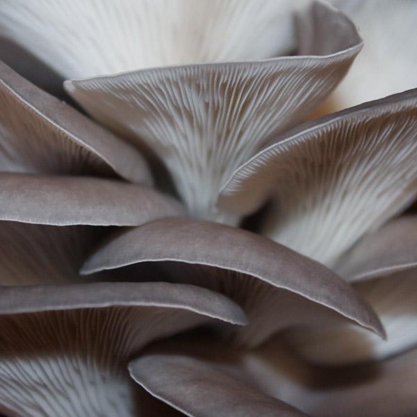 Blue Oyster - Mycelium Growing Kits